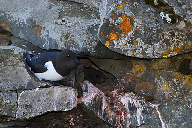 Little Auk (Alle alle) in front of nest entrance with chick inside, Isfjorden, Svalbard, Norway  -  Jasper Doest
