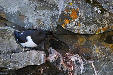 Little Auk (Alle alle) in front of nest entrance with chick inside, Isfjorden, Svalbard, Norway  -  Jasper Doest