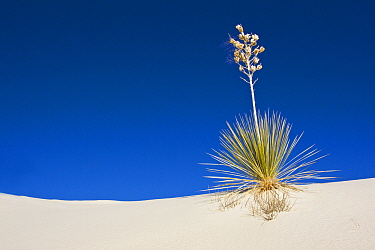 Soaptree Yucca (Yucca elata) growing on sand dunes, White Sands National Monument, New Mexico  -  Otto Plantema/ Buiten-beeld