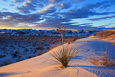 Soaptree Yucca (Yucca elata) growing on gypsum sand dunes, White Sands National Monument, New Mexico  -  Otto Plantema/ Buiten-beeld