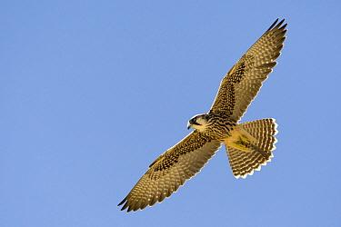 Lanner Falcon (Falco biarmicus) juvenile flying, Kgalagadi Transfrontier Park, Nossob River, Botswana  -  Vincent Grafhorst