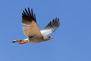 Pale Chanting-goshawk (Melierax canorus) flying, Kgalagadi Transfrontier Park, Nossob River, Botswana  -  Vincent Grafhorst