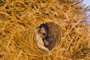 Pygmy Falcon (Polihierax semitorquatus) peeking out of its chamber in a Sociable Weaver (Philetairus socius) nest, Kgalagadi Transfrontier Park, Nossob River, Botswana  -  Vincent Grafhorst