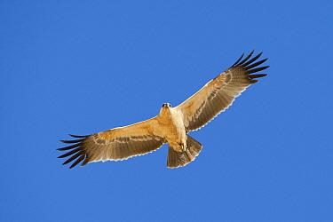 Tawny Eagle (Aquila rapax) flying, Kgalagadi Transfrontier Park, Nossob River, Botswana  -  Vincent Grafhorst