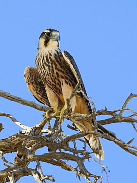 Lanner Falcon (Falco biarmicus) juvenile perched on a branch, Kgalagadi Transfrontier Park, Nossob River, Botswana  -  Vincent Grafhorst
