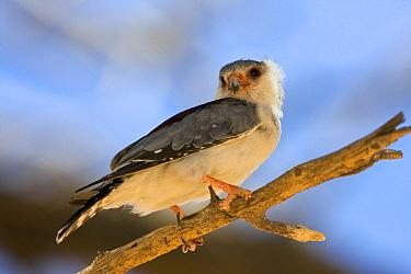 Pygmy Falcon (Polihierax semitorquatus), Kgalagadi Transfrontier Park, Nossob River, Botswana  -  Vincent Grafhorst