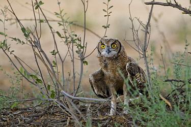Spotted Eagle-Owl (Bubo africanus) juvenile on the ground, Kgalagadi Transfrontier Park, Nossob River, Botswana  -  Vincent Grafhorst