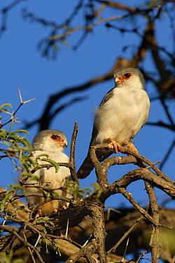 Pygmy Falcon (Polihierax semitorquatus) two perched in a tree, Kgalagadi Transfrontier Park, Nossob River, Botswana  -  Vincent Grafhorst