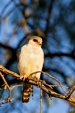 Pygmy Falcon (Polihierax semitorquatus) perched on a tree branch, Kgalagadi Transfrontier Park, Nossob River, Botswana  -  Vincent Grafhorst