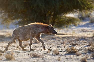 Spotted Hyena (Crocuta crocuta) pregnant female walking in riverbed of the Nossob River, Kgalagadi Transfrontier Park, Nossob River, Botswana  -  Vincent Grafhorst
