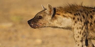Spotted Hyena (Crocuta crocuta), Kgalagadi Transfrontier Park, Botswana  -  Vincent Grafhorst