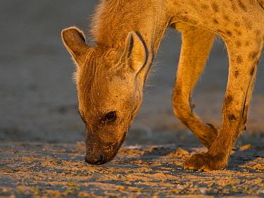 Spotted Hyena (Crocuta crocuta) sniffing the ground, Kgalagadi Transfrontier Park, Nossob River, Botswana  -  Vincent Grafhorst