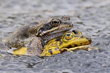 Common Frog (Rana temporaria) mating with Green Frog (Rana esculenta) amid frog spawn, Schagen, Noord-Holland, Netherlands  -  Do van Dijk/ NiS