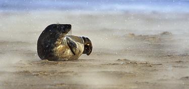 Grey Seal (Halichoerus grypus) on beach as it snows, Donna Nook, Lincolnshire, United Kingdom  -  Jasper Doest