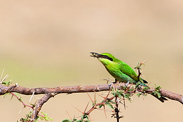 Little Green Bee-eater (Merops orientalis) perched on a branch with a bee in its bill, Nossob River, Kgalagadi Transfrontier Park, Botswana  -  Vincent Grafhorst
