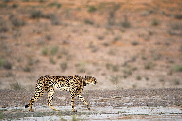 Cheetah (Acinonyx jubatus)walking showing radio collar, Nossob River, Kgalagadi Transfrontier Park, Botswana  -  Vincent Grafhorst