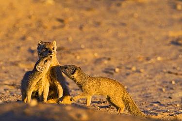 Yellow Mongoose (Cynictis penicillata) family, Nossob River, Kgalagadi Transfrontier Park, Botswana  -  Vincent Grafhorst
