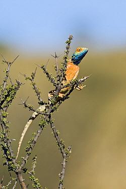 Ground Agama (Agama aculeata) in shrub in breeding color, Nossob River, Kgalagadi Transfrontier Park, Botswana  -  Vincent Grafhorst