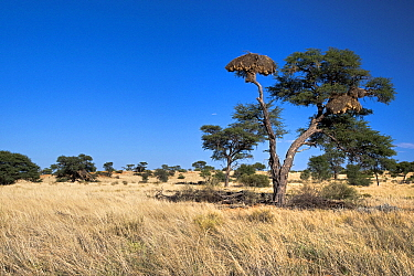 Sociable Weaver (Philetairus socius) nest in a Camelthorn Acacia (Acacia erioloba), Nossob River, Kgalagadi Transfrontier Park, Botswana  -  Vincent Grafhorst