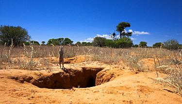 Meerkat (Suricata suricatta) at the edge of an Aardvark (Orycteropus afer) burrow, Kaa, Kgalagadi Transfrontier Park, Botswana  -  Vincent Grafhorst