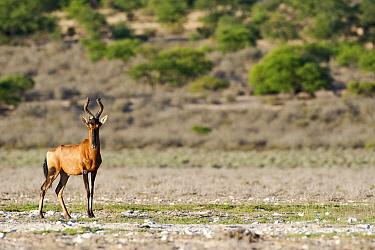 Red Hartebeest (Alcelaphus caama) in Kalahari pan, Kaa, Kgalagadi Transfrontier Park, Botswana  -  Vincent Grafhorst