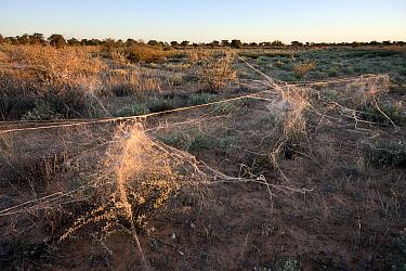 Velvet Spider (Stegodyphus sp) nests in Kalahari at dawn, Kaa, Swartpan, Kgalagadi Transfrontier Park, Botswana  -  Vincent Grafhorst