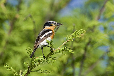 Pririt Batis (Batis pririt) with insect prey, Nossob River, Kgalagadi Transfrontier Park, Botswana  -  Vincent Grafhorst