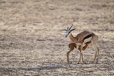 Springbok (Antidorcas marsupialis) female nursing her fawn, Nossob River, Kgalagadi Transfrontier Park, Botswana  -  Vincent Grafhorst