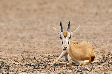 Springbok (Antidorcas marsupialis) ewe chewing cud, Nossob River, Kgalagadi Transfrontier Park, Botswana  -  Vincent Grafhorst
