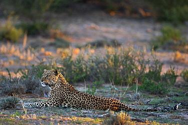 Leopard (Panthera pardus) lying down, Nossob River, Kgalagadi Transfrontier Park, Botswana  -  Vincent Grafhorst