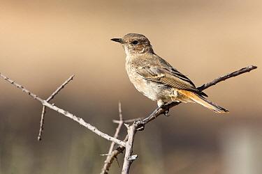Familiar Chat (Cercomela familiaris), Nossob River, Kgalagadi Transfrontier Park, Botswana  -  Vincent Grafhorst