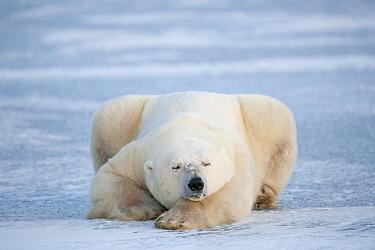Polar Bear (Ursus maritimus) sleeping on ice, Churchill, Manitoba, Canada  -  Andre Gilden/ NIS