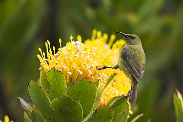 Orange-breasted Sunbird (Nectarinia violacea) female on Pincushion (Leucospermum sp), Cape of Good Hope National Park, South Africa  -  Martin Woike/ NiS