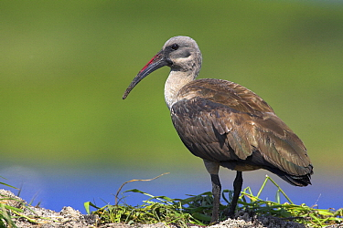 Hadada Ibis (Bostrychia hagedash), Cape Town, South Africa  -  Martin Woike/ NiS