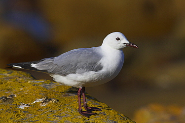 King Gull (Larus hartlaubii), Cape of Good Hope National Park, South Africa  -  Martin Woike/ NiS