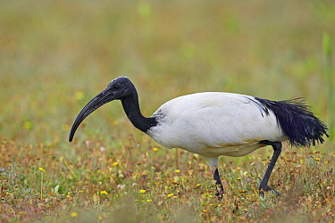 Sacred Ibis (Threskiornis aethiopicus) foraging, West Coast National Park, South Africa  -  Martin Woike/ NiS