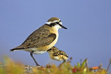 Kittlitz's Plover (Charadrius pecuarius) with newly hatched chick, West Coast National Park, South Africa  -  Martin Woike/ NiS