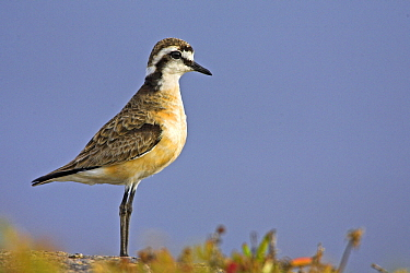 Kittlitz's Plover (Charadrius pecuarius), West Coast National Park, South Africa  -  Martin Woike/ NiS