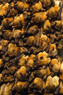 Straw-colored Fruit Bat (Eidolon helvum) group huddling on branch, Kasanka National Park, Zambia  -  Stephen Belcher