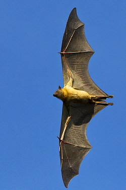 Straw-colored Fruit Bat (Eidolon helvum) flying, Kasanka National Park, Zambia  -  Stephen Belcher