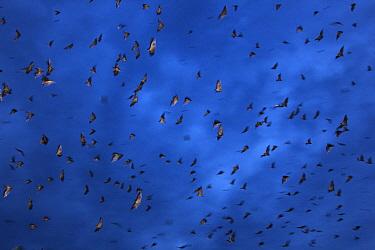 Straw-colored Fruit Bat (Eidolon helvum) group flying at night, Kasanka National Park, Zambia  -  Stephen Belcher