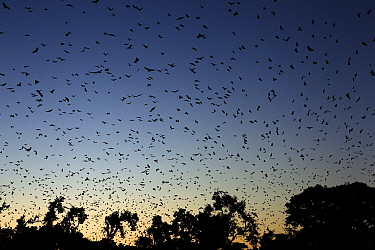 Straw-colored Fruit Bat (Eidolon helvum) group flying at sunset, Kasanka National Park, Zambia  -  Stephen Belcher