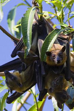 Straw-colored Fruit Bat (Eidolon helvum) hanging from a branch, Kasanka National Park, Zambia  -  Stephen Belcher