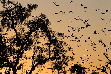 Straw-colored Fruit Bat (Eidolon helvum) group flying into roost tree at sunrise, Kasanka National Park, Zambia  -  Stephen Belcher