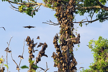 Straw-colored Fruit Bat (Eidolon helvum) group flying and roosting on trees, Kasanka National Park, Zambia  -  Stephen Belcher