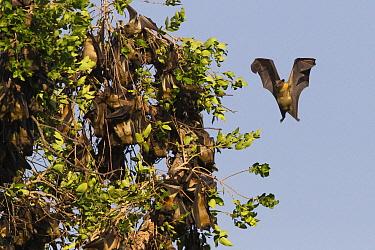 Straw-colored Fruit Bat (Eidolon helvum) pregnant female about to land, Kasanka National Park, Zambia  -  Stephen Belcher