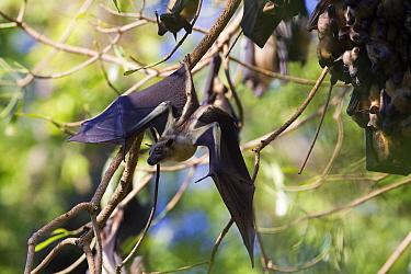 Straw-colored Fruit Bat (Eidolon helvum) taking off from branch, Kasanka National Park, Zambia  -  Stephen Belcher