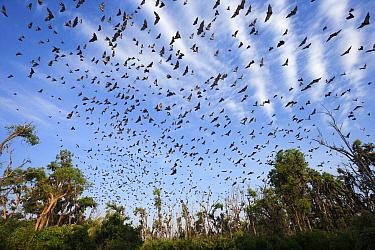 Straw-colored Fruit Bat (Eidolon helvum) group, Kasanka National Park, Zambia  -  Stephen Belcher