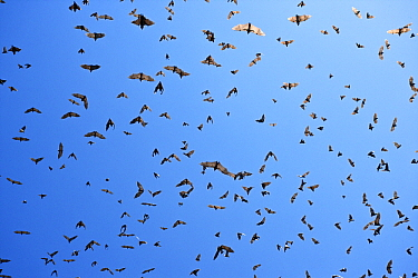 Straw-colored Fruit Bat (Eidolon helvum) group flying overhead, Kasanka National Park, Zambia  -  Stephen Belcher