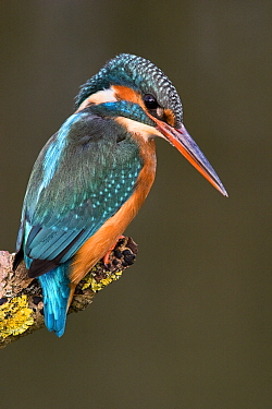 Common Kingfisher (Alcedo atthis) female on perch, Germany  -  Jasper Doest